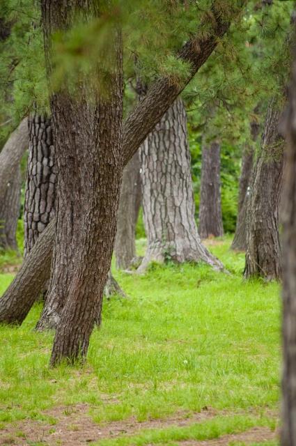 セイヨウアカマツ球果エキス ハーブガーデン さくらの森シャンプー