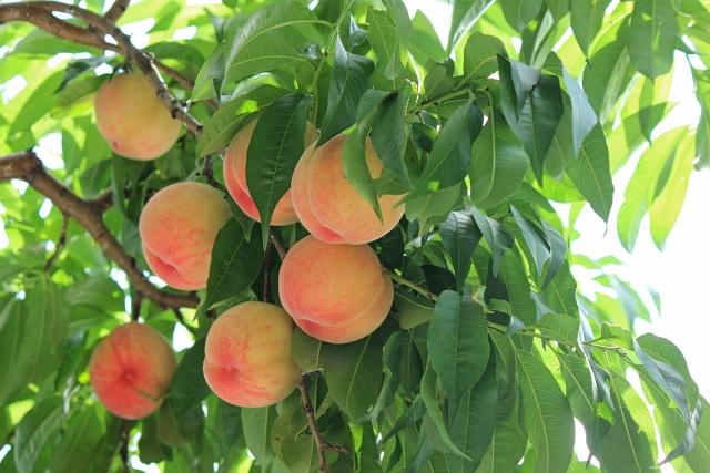 バラ科モモの葉から得たエキス。成分としてタンニン、フェノール、アミノ酸、フラボノイド、ニトリル配糖体を含んでいます。保湿作用、抗炎症(抗アレルギー)作用、抗酸化(過酸化物抑制)作用、刺激緩和作用、抗菌作用がある。