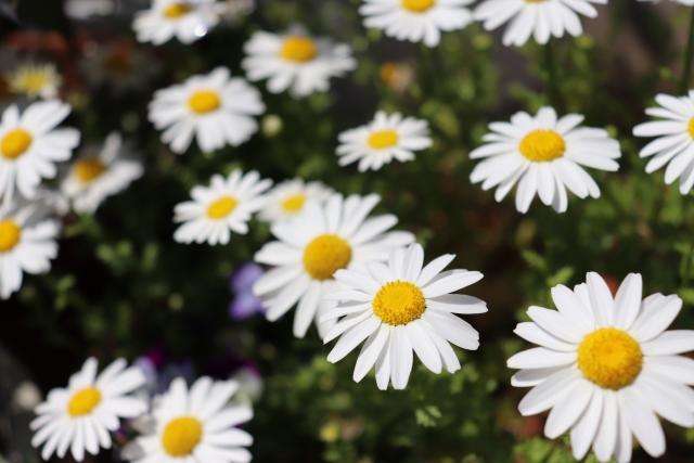 ローマカミツレ花エキス プシュパ ボディソープ ブロッサムスマイル