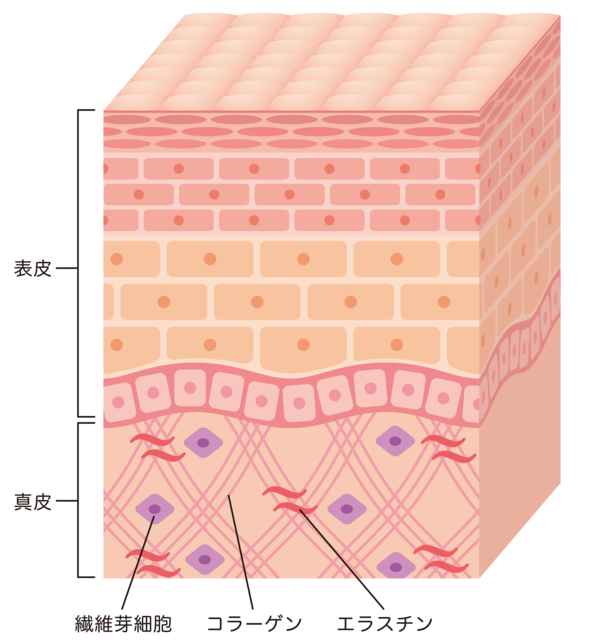肌の真皮層に分布するコラーゲン同士を結びつける繊維状タンパク質です。ゴム状に伸縮する特徴があり、肌の弾力・柔軟性を維持するために欠かせないタンパク質です。