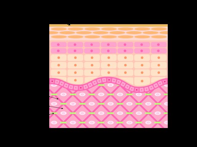 ヒアルロン酸は肌の潤いを保つために真皮層に存在する物質ですが、化粧品として使うと肌表面で水分が蒸発するのを防ぐような働きを期待されます。肌には分子量が大きすぎるため浸透しません。
